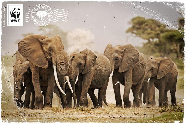 Tolle Nachrichten aus Tansania: Präsident John Magufuli hat angekündigt, die Wilderei stärker zu bekämpfen! Wir freuen uns, dass endlich mehr passiert, um…  -  WWF Deutschland – Google+