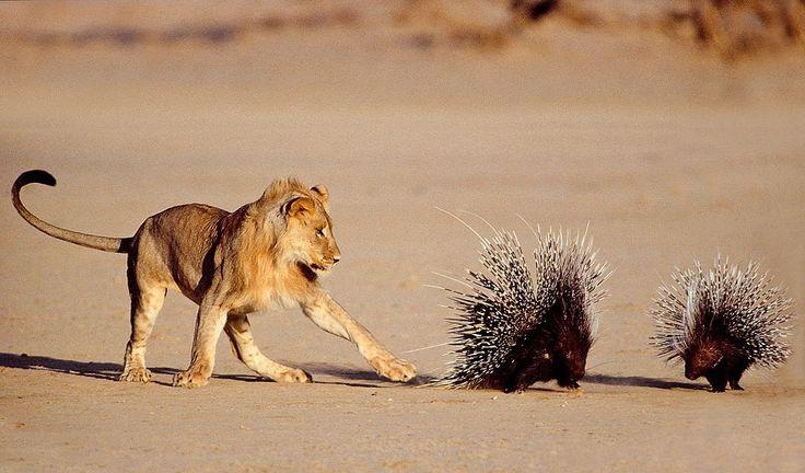 Wehrhafte Stachelschweine. Barrie Wilkins, Südafrika 1993 Der junge Löwe und sein Bruder hatten bereits stundenlang versucht, eines der Stachelschweine umzuwerfen - zwecklos. Sie gaben auf