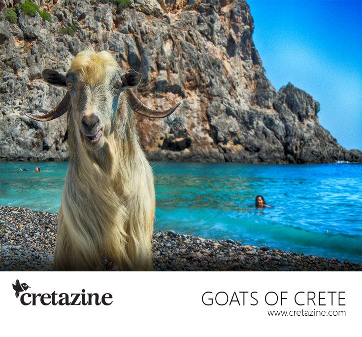 Goat on the beach, at Agiofaraggo Gorge, #Crete, demanding for a treat! Well, she definitely got it! Read more: http://cretazine.com/en/crete/travel-explore/island-routes/item/53-agiofaraggo-eng