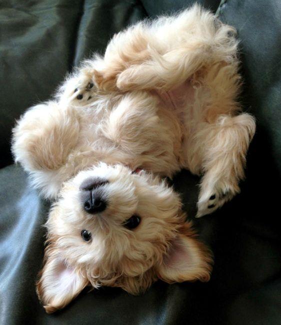 Hi I am a Westie, and proud of it to ! See how to teach me stuff ? www.howtopotty-trainadog.com