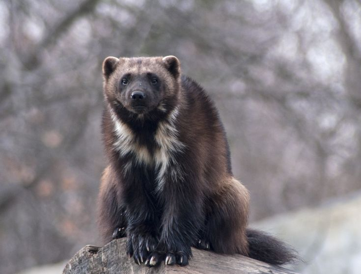 Wolverine (Gulo gulo). Photo by Ginger Harris (at https://500px.com/photo/111456775/michigan-wolverine-by-ginger-harris).
