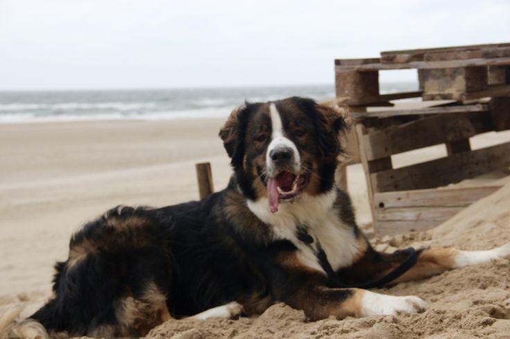 Binc@beach #koningbinc #dogmodel #beach #dog #lovemydog