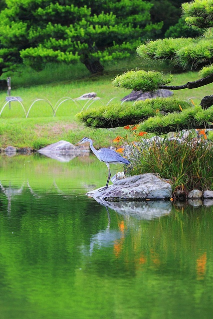 Ritsurin Park, Takamatsu, Kagawa Japan. See the beautiful blue heron on the rock?