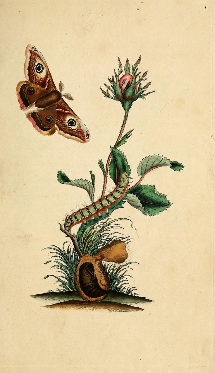 V.1 (1792) Historia natural de los insectos británicos. Librería del Patrimonio natural.