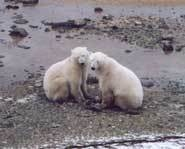 Facts about polar bears--use with Three Snow Bears