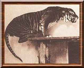 Tigre de la Sonde