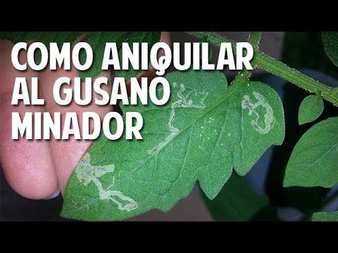 Cómo Aniquilar al Maldito Gusano Minador de las hojas del tomate - Plaga...