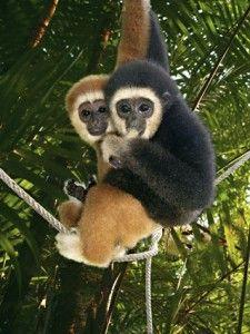 Gibbonit  #Finnmatkat.