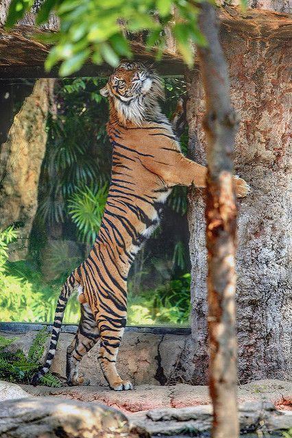 Khunde ♂ - Look What I Can Do!   by Harimau Kayu (AKA Sumatra-Tiger)