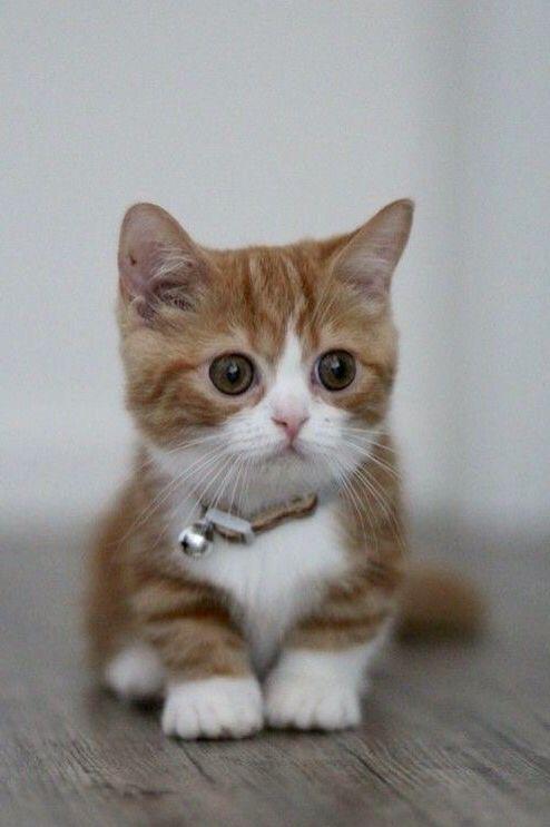 Munchkin Kitten Wearing a Bell Collar