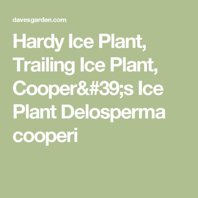 Hardy Ice Plant, Trailing Ice Plant, Cooper's Ice Plant  Delosperma cooperi