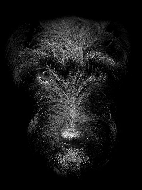 Patterdale Terrier por MAC-Photography.co. uk en Flickr