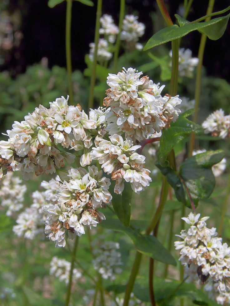 Fagopyrum esculentum flowers, Boekweit bloemen - Fagopyrum esculentum - Wikipedia, la enciclopedia libre