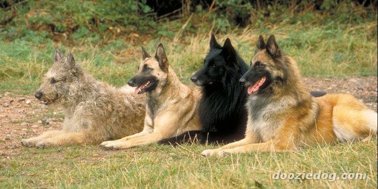Belgian Shepherds in order: Laekenois, Malinois, Groenendael, Tervuren.