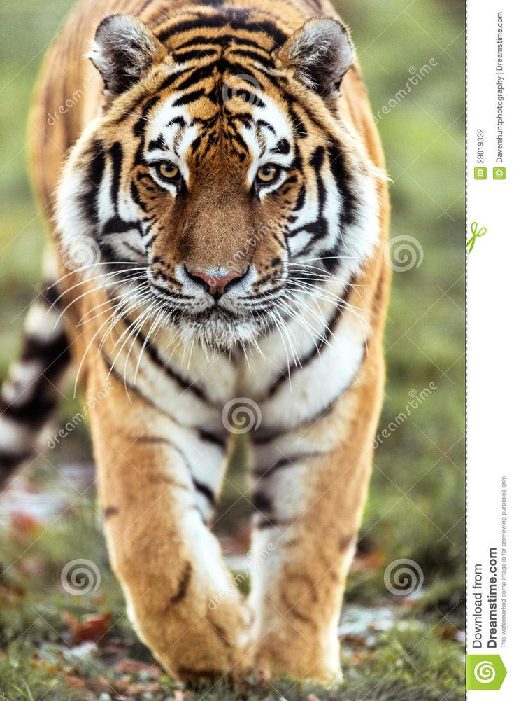 walking tiger pics - Google Search | Tattoo ideas ...