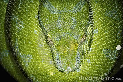 Green Tree Python - Download From Over 56 Million High Quality Stock Photos, Images, Vectors. Sign up for FREE today. Image: 7292457