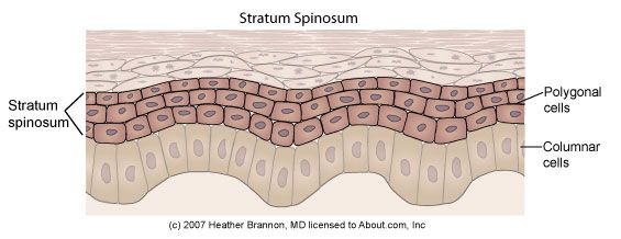 Epidermis Anatomy: Stratum Spinosum