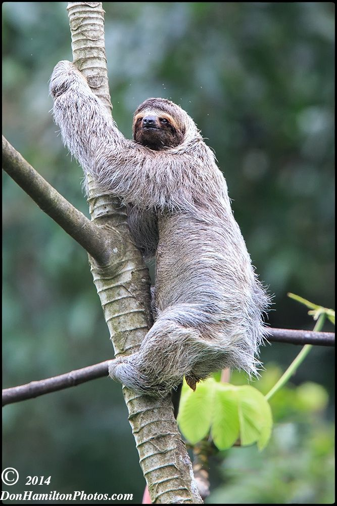 Three Toed Sloth by Don  Hamilton Jr. - Three-toed sloths are tree living mammals from South and Central America.