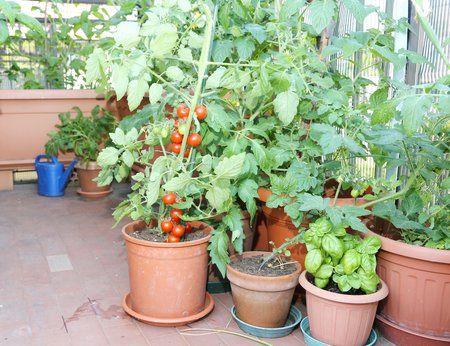 Jak pěstovat rajčata krok za krokem: Na zahradě, ve skleníku i na balkoně