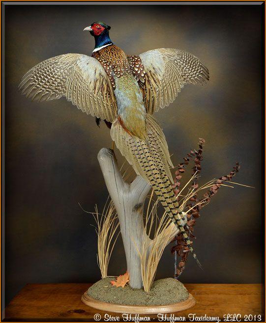 Huffman Taxidermy LLC - Ringneck Pheasant Taxidermy Mount