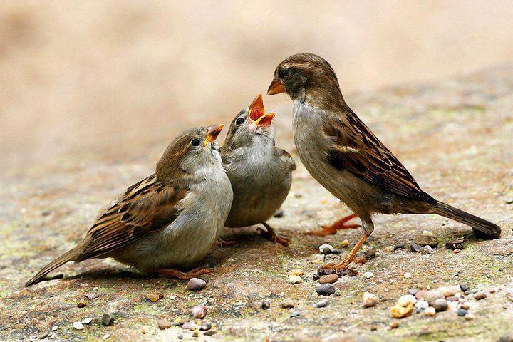 #Sparrow #Mom feeding her #baby
