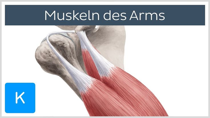 Muskeln des Arms - Ursprünge, Ansätze und Innervation - Anatomie des Men...