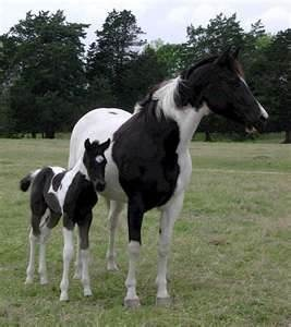 Image Search Results for black and white paint horses