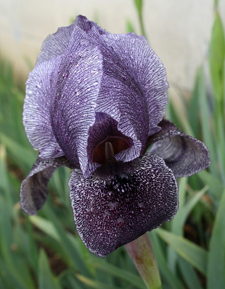 105 best images about fleur de lis on pinterest bearded - Iris germanica ...