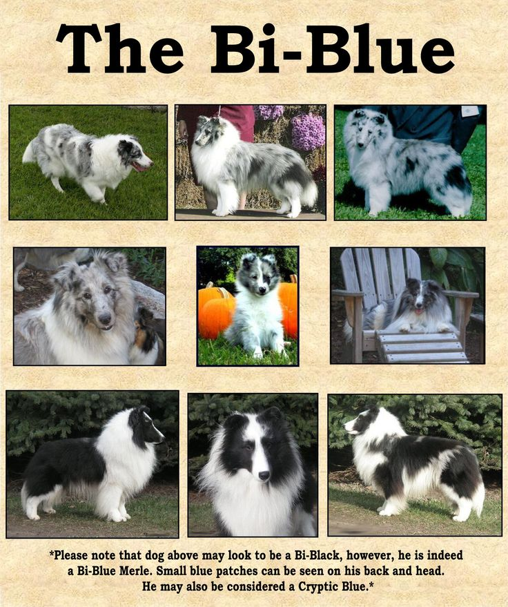 53 best images about blue merle shelties on pinterest shetland sheepdog adopt a baby and. Black Bedroom Furniture Sets. Home Design Ideas