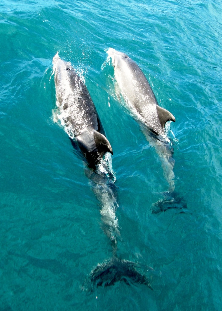 Dolphins in Marlborough Sounds, NZ