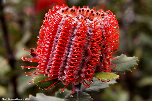 Banksia coccinea - Scarlet Banksia, Waratah Banksia, Albany Banksia - © All Rights Reserved - Black Diamond Images
