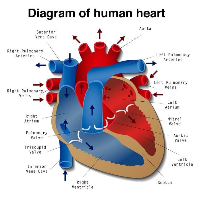 A diagram of the human heart