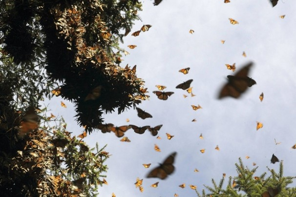 Monarch butterflies cluster on a  tree in the Pedro Herrada butterfly sanctuary on a mountain in Mexico. (Felipe Courzo/REUTERS)