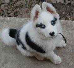 Wolf Husky Mix Puppy