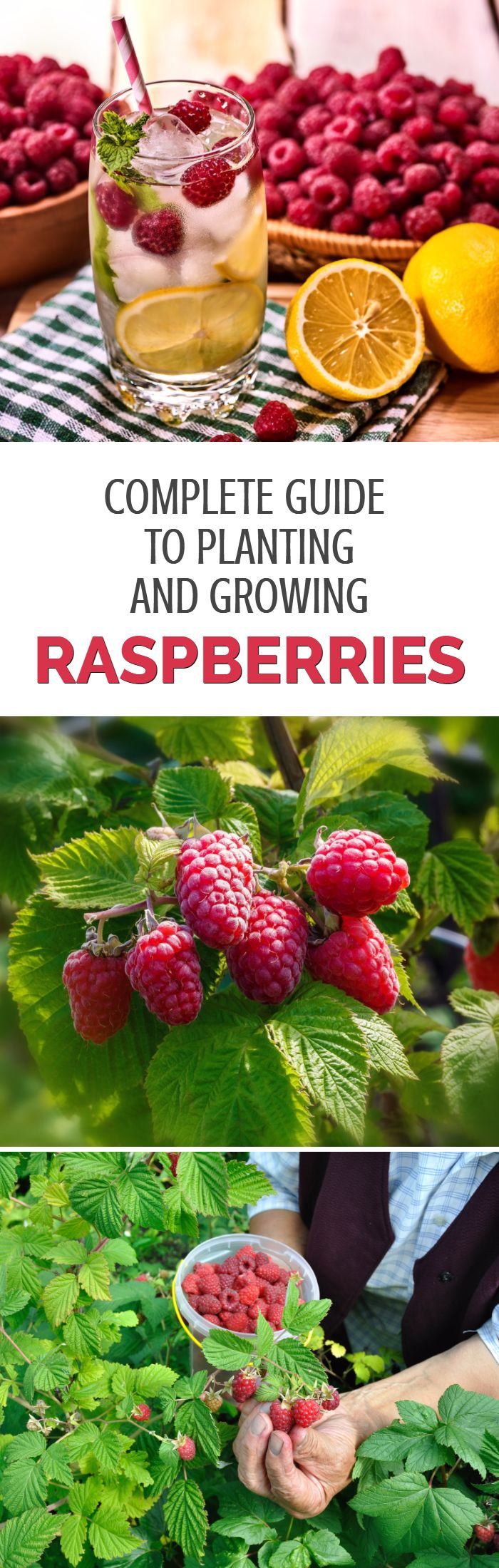 No garden is complete without a few raspberry plants to provide juicy fruits each summer. This growing guide explains how to grow raspberries, including a discussion on the different types of raspberries and grow to prune raspberry bushes to get the most fruit possible.