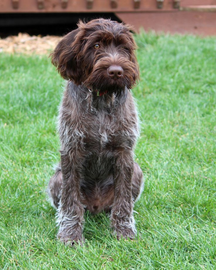 german wirehaired pointer | Sitting German Wirehaired Pointer dog photo and wallpaper. Beautiful ...