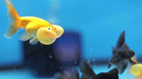This bubbly eye Goldfish! http://ift.tt/2lRwqQU