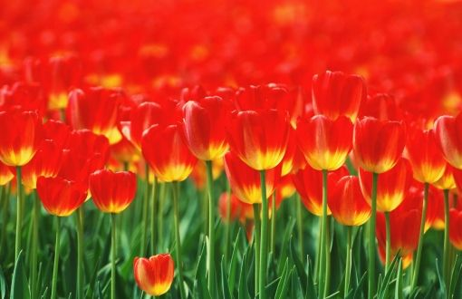 Red tulips Wallpapers HD - Red tulips Wallpaper hd