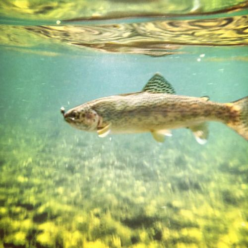 Hello Trout! #Fishing #Trout #Fish #Underwater #Water #Montana...