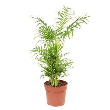 Palmier nain : H.40/60cm pot