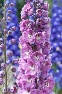 Delphinium 'Cymbeline' - delphiniums symbolise the month of July. They are a display of boldness in the language of flowers.