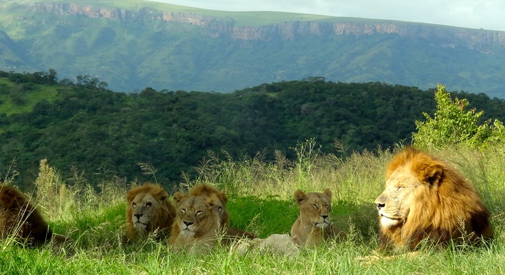 The Pride of Lions in Pietermaritzburg Lion Park, South Africa