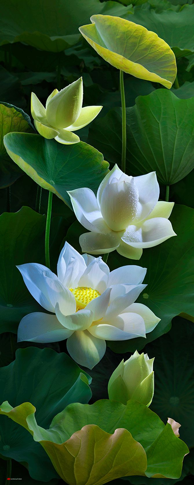 Lotus is the most beautiful aquatic flowers that look very ... - photo#25