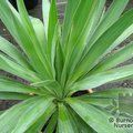 Yucca Gloriosa   from Burncoose Nurseries