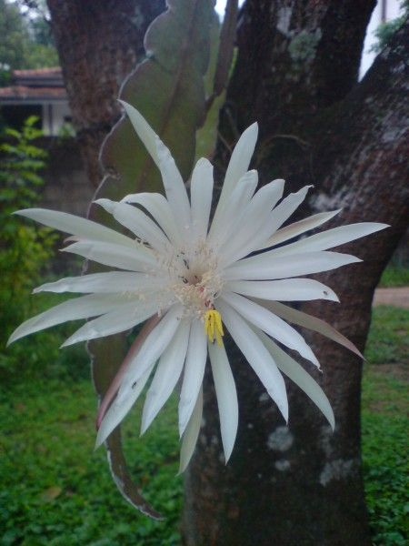 Epiphyllum oxypetalum: Native to Central America and Northern South America, the Kadupul flower blooms rarely and only at night – mysteriously, the flower wilts before dawn. The flower can take a year to bloom and only blooms over a single night.