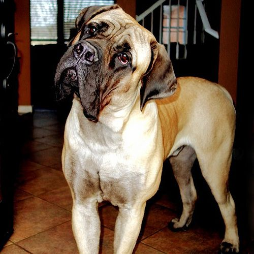 Mojo the English Mastiff has a bark worse than his bite. Unless he bites you first.