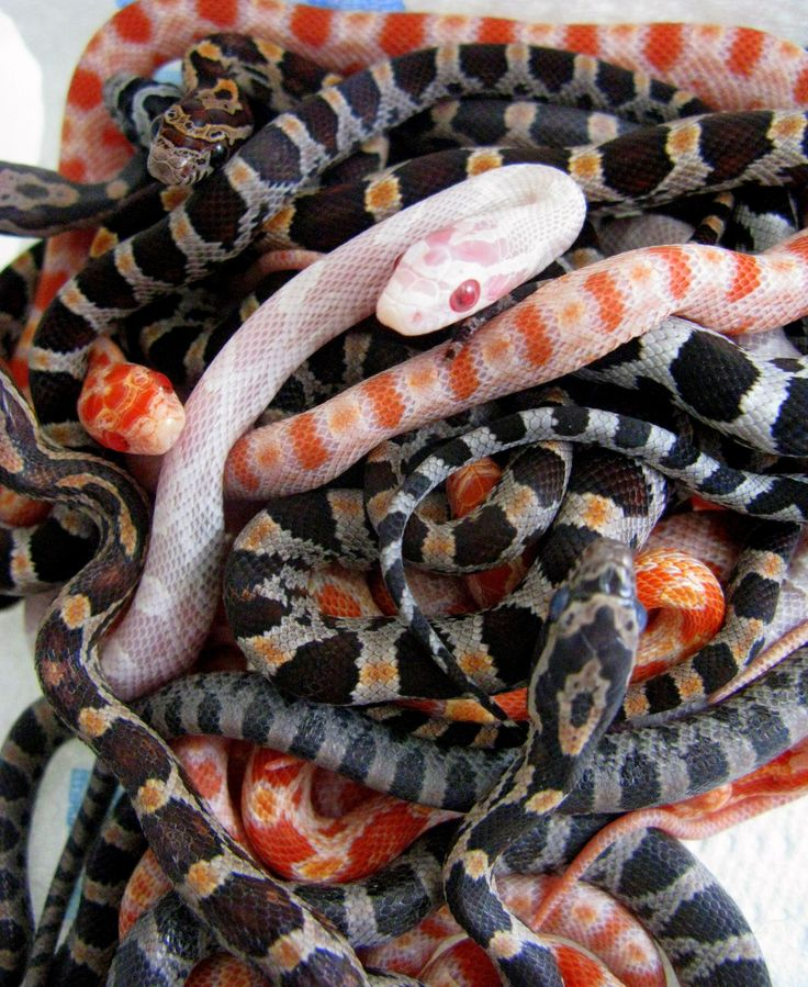Cornsnakes are the coolest little critters:D