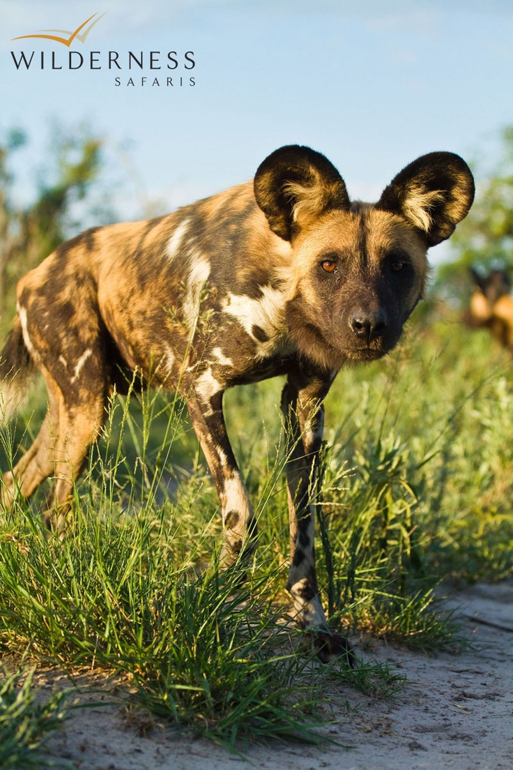 Chitabe Lediba - Also encountered are buffalo, elephant, lion and occasional sightings of wild dog, the subject of the Botswana Wild Dog Research Project that takes place in the area. #Safari #Africa #Botswana #WildernessSafaris