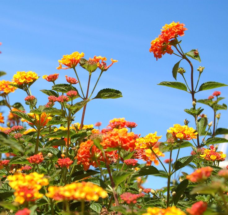 How and when to prune lantana bushes is often a highly debated topic. One thing that is agreed upon is the fact that depending on the type of lantana, these plants can get quite large. Find pruning info here.