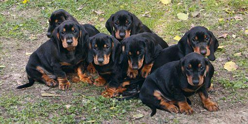 Tatranský durič | Slovenské národné plemená psov